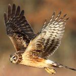 Northern Harrier Hawk for identification