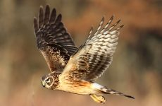 8 Species of Hawk in Virginia