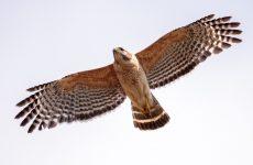 8 Species of Hawk in Massachusetts