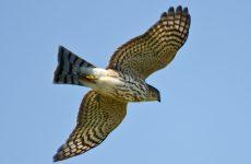 8 Species of Hawk in Illinois