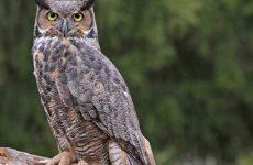 8 Species of Owl in Ohio