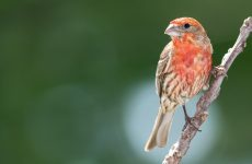Red Birds in Florida – Picture and ID Guide