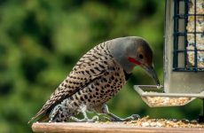 Top 28 Backyard Birds British Columbia (Free Picture ID Printable)