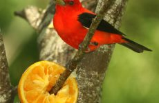 17 Red Birds You Should Know
