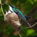 Costas hummingbird nest