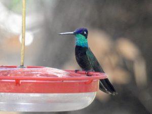 Rivolis hummingbird male