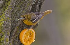 Yellow Birds in Illinois – Picture and ID Guide