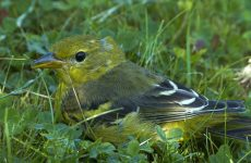 Yellow Birds in Ohio – Picture and ID guide