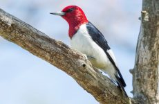 Everything You Need to Know About Woodpeckers in Illinois