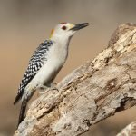 Male Golden-fronted Woodpecker - Texas