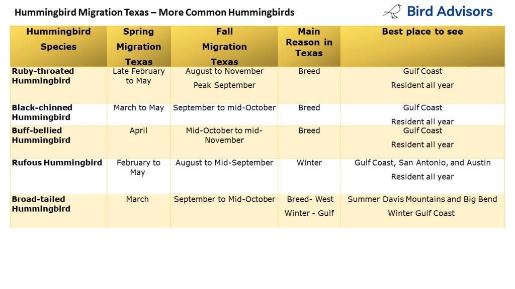 Hummingbird Migration - common hummingbirds in Texas