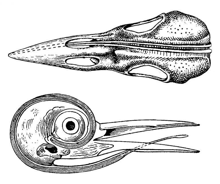 woodpecker skull and tongue