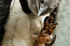 Harpy Eagle – Sloth Eater