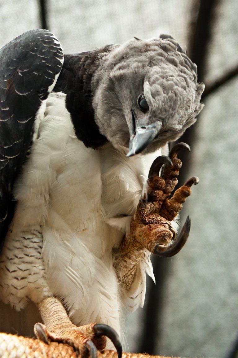 Harpy eagle talons