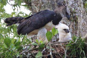 Harpy eagle baby close up
