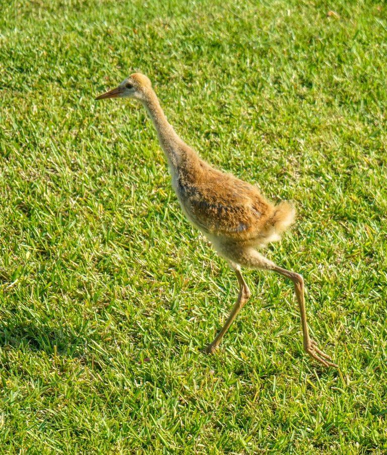 baby sand-hill-cranes
