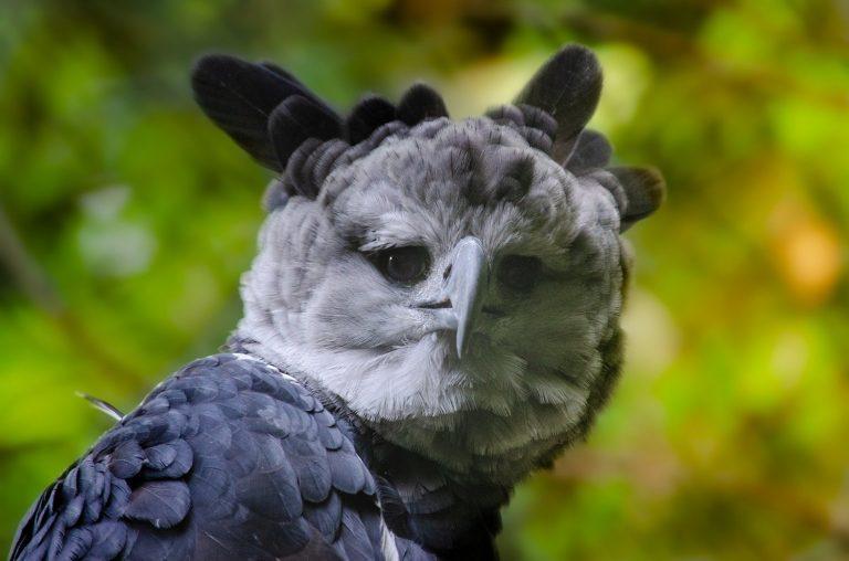 harpy eagle head