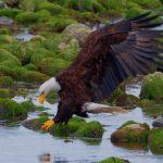Bald Eagle prey
