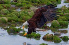 25 Bald Eagle Facts