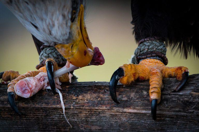 Bald Eagle talons prey