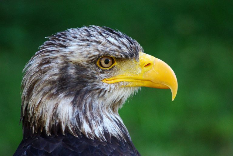 Bald Eagle young
