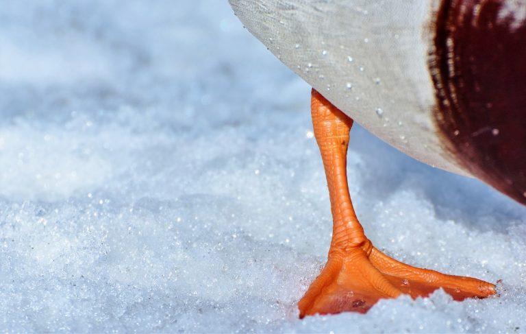 duck-foot-on ice