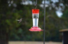 Simple Hummingbird Nectar Recipe