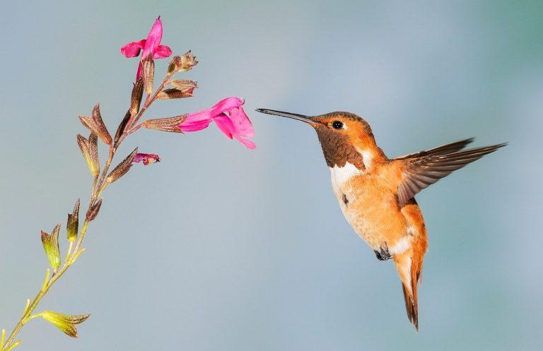 hummingbird-on flower