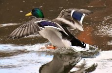 Ducks with Green Heads