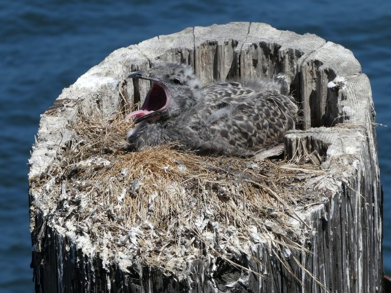 seagull chick cry