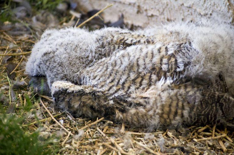 baby owl sleeping