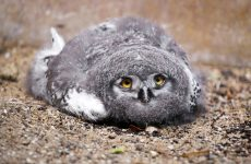 A Baby Owl Sleeping Face Down Is Unbelievable