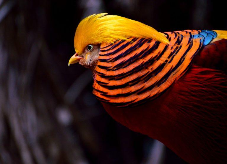 golden-pheasant