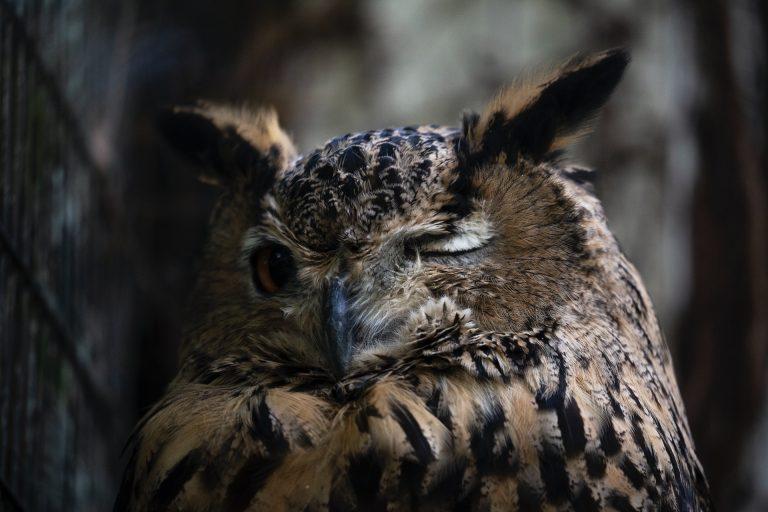 owl sleeping