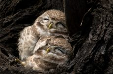 Owls Sleeping Are So Adorable – You Need to See These Pictures, Videos and Facts
