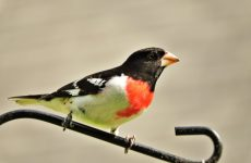Birds With Orange Chests – Picture and ID Guide