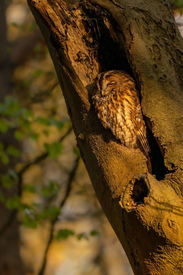 sleeping owl