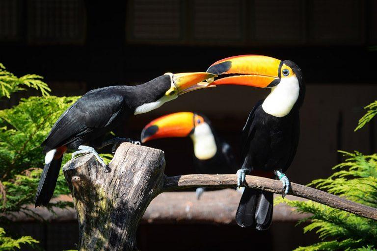 toucan feeding chick