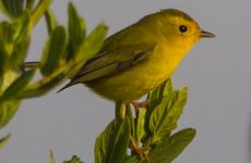Birds With Yellow Bellies- Picture and ID guide