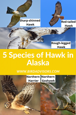 Hawks in Alaska with pictures and information for identification