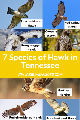 Species of Hawk in Tennessee with pictures and information for identification