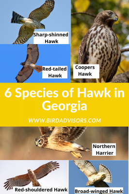 Species of Hawks found in Georgia with pictures and information to help with identification