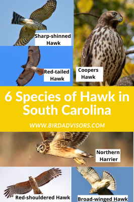 Species of Hawk in South Carolina with pictures and information for identification
