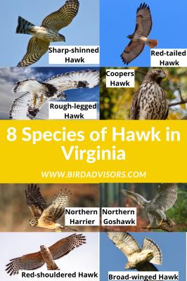 7 species of Hawk Indiana (6)