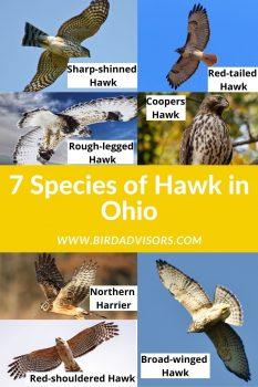 7 species of hawk in ohio with photos