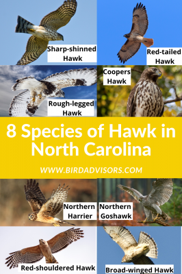 Hawks in North Carolina with pictures and information for identification