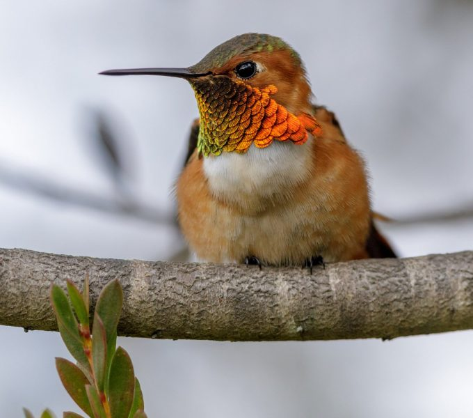 Allens hummingbird male