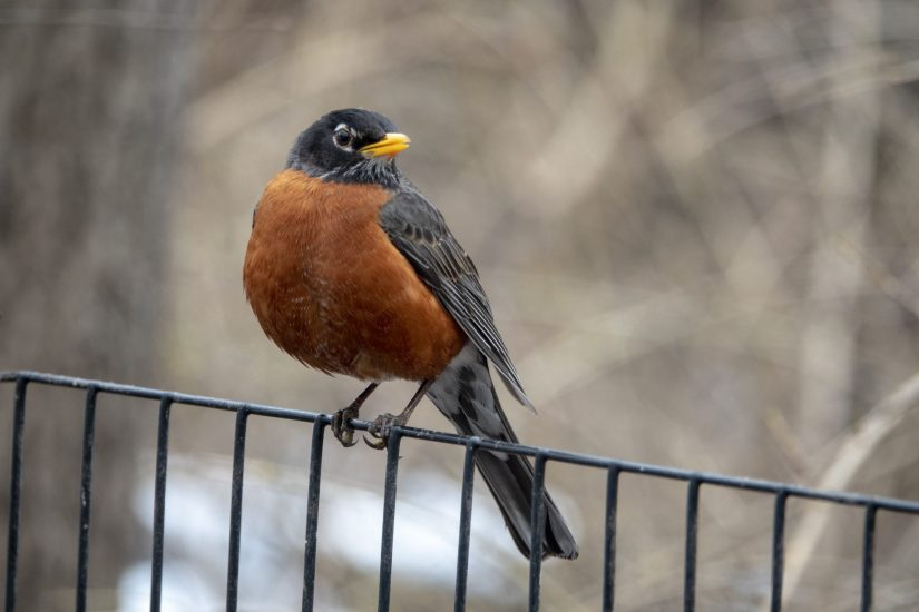 American Robin for identification