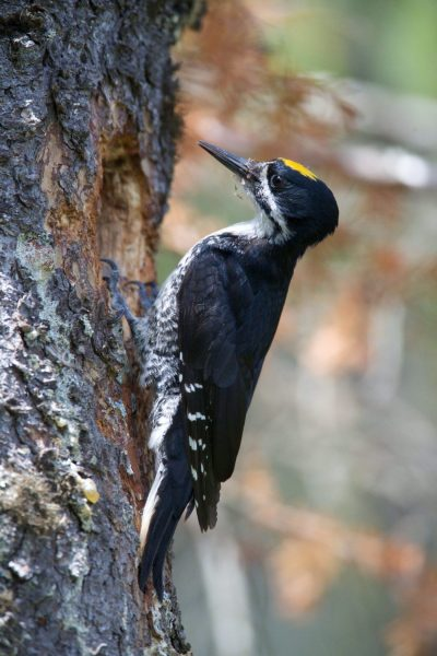 Blacked-backed Woodpecker for identification