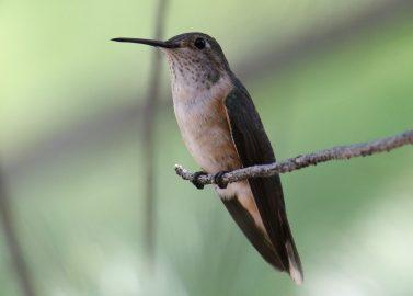 Broad tailed Hummingbird female 2